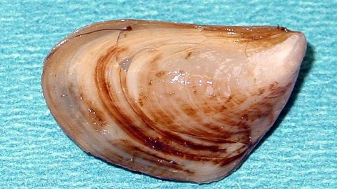 Quagga mussels a bigger problem in Lake Powell than first thought